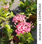 pink thai spike flower or ixora.... | Shutterstock . vector #1224962263