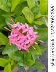 pink thai spike flower or ixora.... | Shutterstock . vector #1224962266