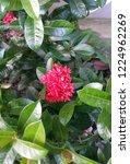 pink thai spike flower or ixora.... | Shutterstock . vector #1224962269