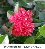 red thai spike flower or ixora... | Shutterstock . vector #1224977620