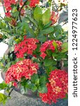 red thai spike flower or ixora... | Shutterstock . vector #1224977623
