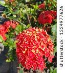 red thai spike flower or ixora... | Shutterstock . vector #1224977626