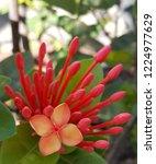 red thai spike flower or ixora... | Shutterstock . vector #1224977629