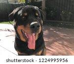 rottweiler 8 months old. loyal...   Shutterstock . vector #1224995956