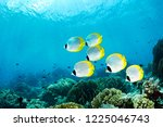 Butterfly Fish In Indonesia...