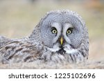 the bearded tawny length of the ... | Shutterstock . vector #1225102696