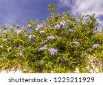 Beautiful Blue Plumbago