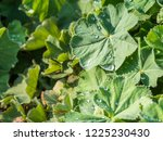 green leaves of lady's mantle ... | Shutterstock . vector #1225230430