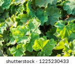 green leaves of lady's mantle ... | Shutterstock . vector #1225230433