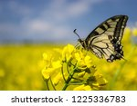 Big Butterfly On Yellow Flower. ...