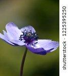 anemone coronaria  purple...   Shutterstock . vector #1225395250