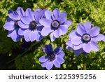 anemone coronaria  purple...   Shutterstock . vector #1225395256