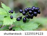 Small photo of Baneberry or herb Christopher, Actaea spicata, an extremely poisonous plant