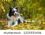 Lying Border Collie In Autumn...