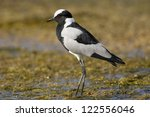 Blacksmith Lapwing Plover ...