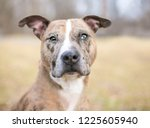 a catahoula leopard dog with... | Shutterstock . vector #1225605940