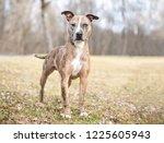 a catahoula leopard dog mixed... | Shutterstock . vector #1225605943
