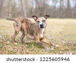 a playful catahoula leopard dog ... | Shutterstock . vector #1225605946