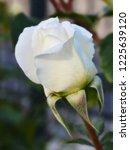 shining white rose on a green... | Shutterstock . vector #1225639120