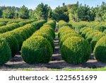 evergreen buxus or box wood...   Shutterstock . vector #1225651699