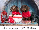 Stock photo puppy dachshund new year s puppy christmas dog 1225655896
