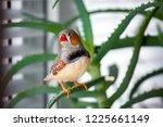 male zebra finch on a branch of ... | Shutterstock . vector #1225661149