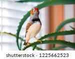 zebra finch surprised stretched ... | Shutterstock . vector #1225662523