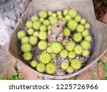 a kind of cactus plant ...   Shutterstock . vector #1225726966