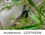 one of charles darwin finches... | Shutterstock . vector #1225745206