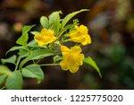 soft focus close up yellow... | Shutterstock . vector #1225775020