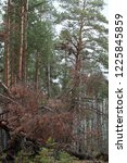 fallen trees in the siberian... | Shutterstock . vector #1225845859