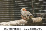 the zebra finch is the most... | Shutterstock . vector #1225886050