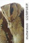 the oriental bay owl is a type...   Shutterstock . vector #1225891819