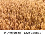 wheat in the farm | Shutterstock . vector #1225935883