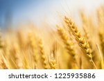 wheat in the farm | Shutterstock . vector #1225935886