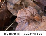dolomedes sp  probably... | Shutterstock . vector #1225946683