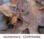 dolomedes sp  probably... | Shutterstock . vector #1225946686