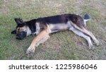 canine sleep dog cute dog... | Shutterstock . vector #1225986046