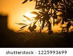 Sunset Behind Olive Tree