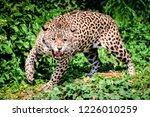 Roar Tiger Leopard Jaguar...