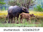 the buffalo and son are in the... | Shutterstock . vector #1226062519