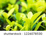 nature fresh green leaf plant... | Shutterstock . vector #1226078530
