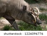 North Sulawesi Babirusa  Deer...