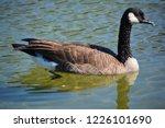 canada goose  branta canadensis ... | Shutterstock . vector #1226101690