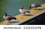 canada goose  branta canadensis ... | Shutterstock . vector #1226101696