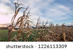 corn field for biogas | Shutterstock . vector #1226113309