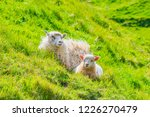 white sheep  and lamb in green... | Shutterstock . vector #1226270479