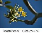 frangipani  plumeria  white...   Shutterstock . vector #1226293873