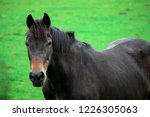 Stock photo front view closeup of beautiful black horse looking at camera in a green field in springtime horse 1226305063