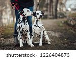 Stock photo dog walker with dalmatian dogs enjoying in park 1226404873